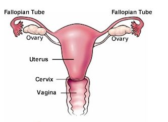 Fallopian-Tube-1